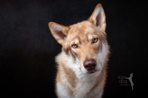 Photograph portrait of wolfdog puppy