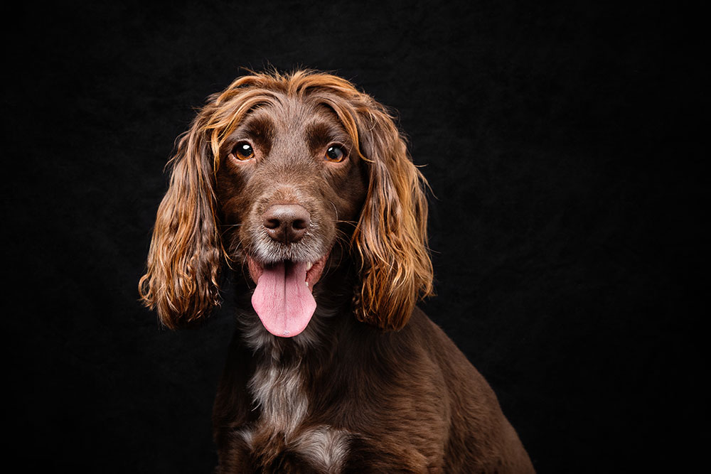photograph portrait spaniel dog in hampshire photography studio