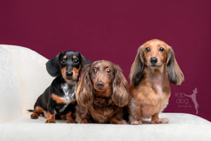 miniature dachshunds on a chaise in the top dog studio in southampton